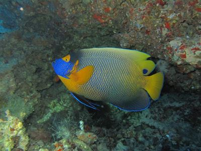 Yellowface angelfish en Maldivas