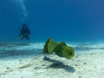 Green moray in Mexico