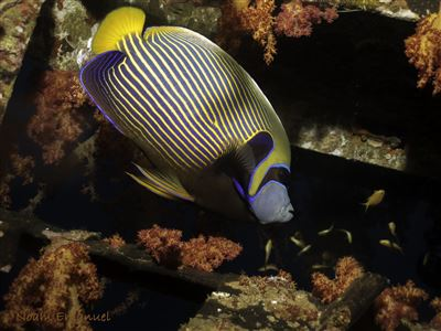 Emperor angelfish in Israel