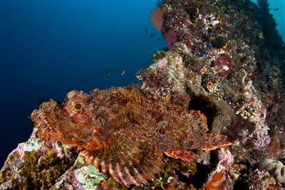 Red scorpionfish in Indonesia