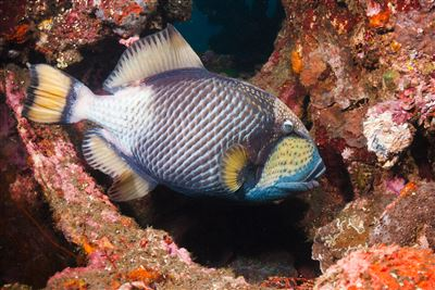 Titan triggerfish in Indonesia
