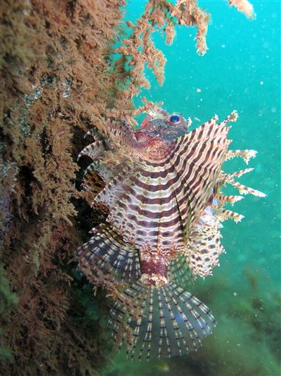 Red lionfish in Indonesia