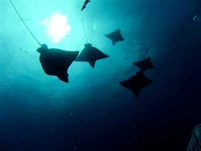 Spotted eagle ray in Ecuador