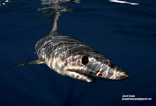 cabo shark dive