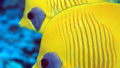 Bluecheek butterflyfish in Egypt