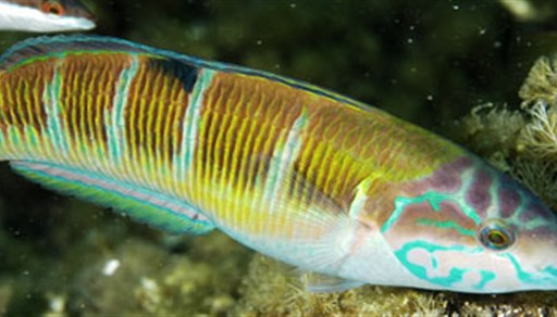 Ornate wrasse in Tunisia
