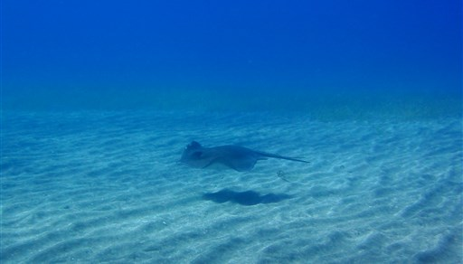 Common stingray in Abades in Spain