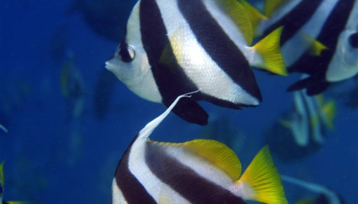 Pennant coralfish in Banana Reef in the Maldives