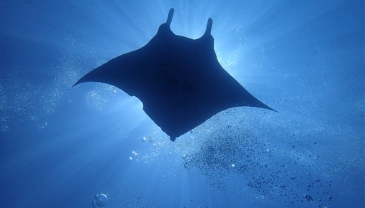 Reef manta ray in Camel Rock in the Maldives