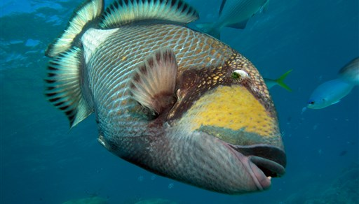 Titan triggerfish in Challenger Bay in Australia