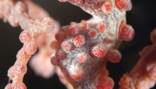 Pygmy seahorse in Cod Hole in Australia