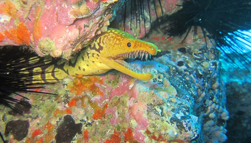 Fangtooth moray in Spain