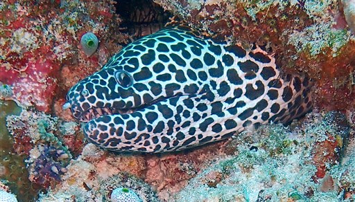 Laced moray in Embudhu Beru in the Maldives