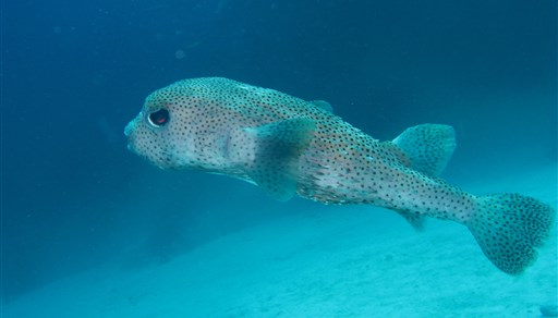 Spot-fin porcupinefish in Fantasea Reef in Thailand