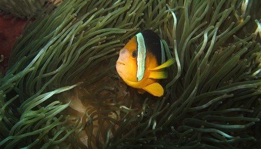 Orangefin anemonefish in Gili Mimpang in Indonesien