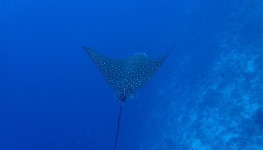 Spotted eagle ray in Moofushi Beru in the Maldives