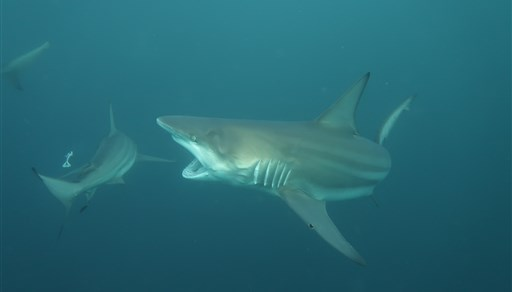 Blacktip shark in PROTEA BANKS Northern Pinnacle  in South Africa