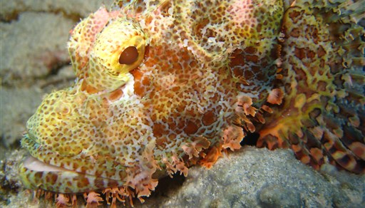 Red scorpionfish in Rob's Point in Indonesia