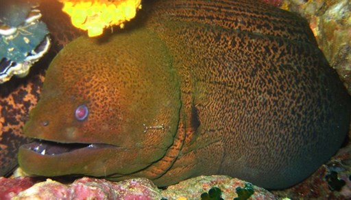 Giant moray in Sail Rock in Thailand