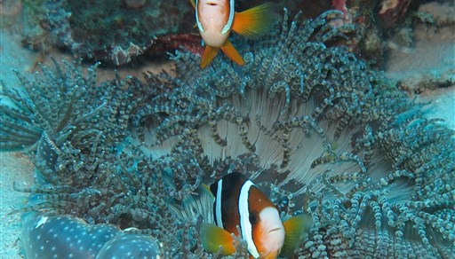Twoband anemonefish in Siladen in Indonesia