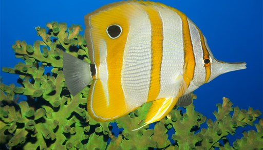Longnose butterflyfish in South Point in Malaysia