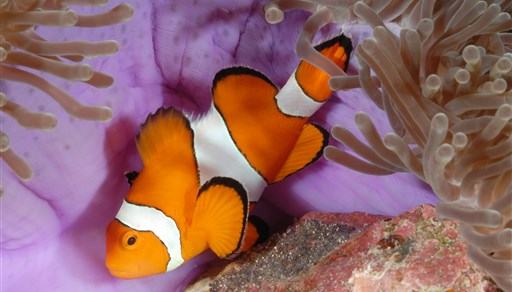 Clown anemonefish in Thailand