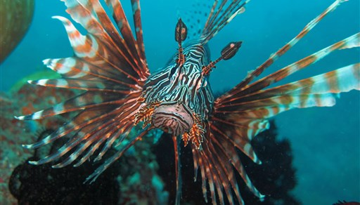 Red lionfish in The Channel in Indonesia