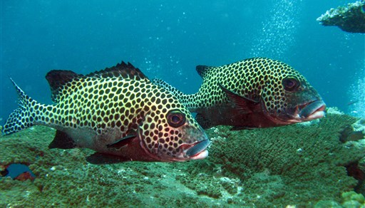 Harlequin sweetlips in Turtle Patch in Malaysia