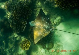 Spotted eagle ray in Seychelles