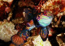 Mandarinfish in Indonesien