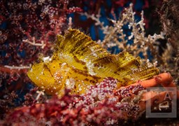 Leaf scorpionfish in Indonesia