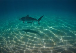 Tiger shark in Australia