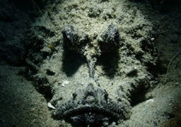 Bearded ghoul in Amigo House Reef in Malaysia