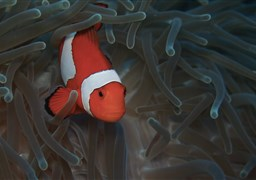 Clown anemonefish in Balicasag Island in Philippines