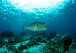 Green humphead parrotfish in Barracuda Point in Malaysia