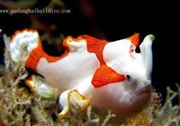 Warty frogfish in Blue Lagoon in Indonesia