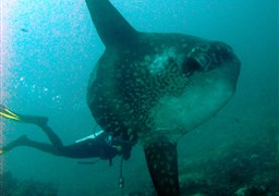 Ocean sunfish in Blue Lagoon in Indonesia
