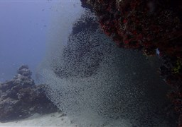 Scuba diving North, including Hanifaru bay