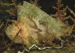 Leaf scorpionfish in Camel Rock in the Maldives