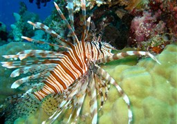 Red lionfish in Challenger Bay in Australia