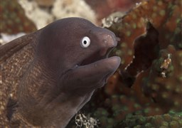 Greyface moray in Coconut Point in Philippines