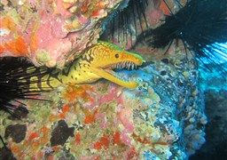 Fangtooth moray in El Bajonito in Spain