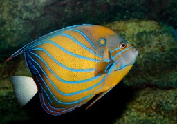 Bluering angelfish in Elephant Head Rock in Thailand