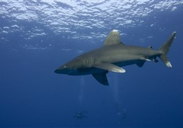 Oceanic whitetip shark in Elphinstone reef in Egypt