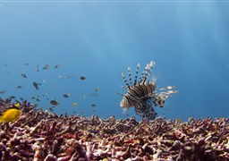 Red lionfish in Fantasea Reef in Thailand