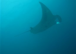 Reef manta ray in Fushifaru Thila in the Maldives