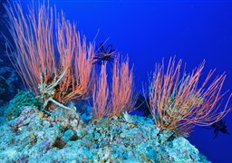 Scuba diving in Gorgonian Forest in Malaysia