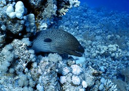 Scuba diving in Jackson Reef in Egypt