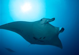 Reef manta ray in Maa Corner Manta Point in the Maldives
