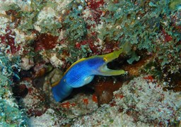 Ribbon moray in Madivaru Beru in the Maldives